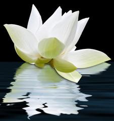 lotus blanc flottant, fond noir
