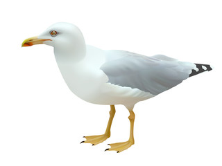 Realistic seagull (sea bird) standing on its feet on a white background