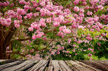 Emty top wooden table on pink flower blooming in spring time