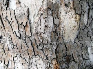 Bark of platan tree.