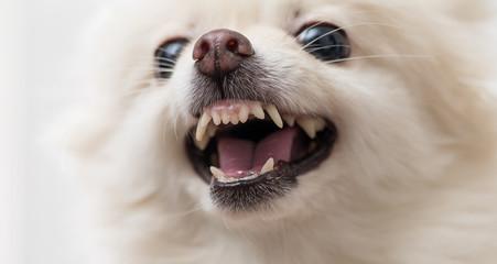 White Pomeranian dog getting angey