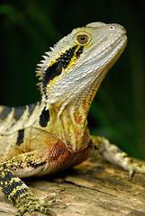 Eastern Water Dragon Native to Australia.