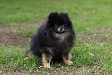 Pomeranian black dog sitting happy on green grass