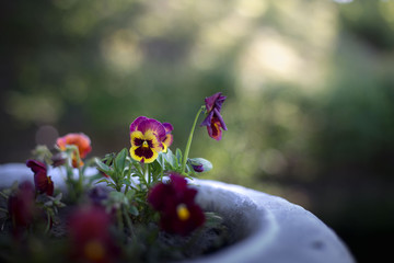 Pansies in the flower-bed of the morning sun