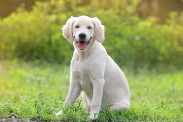 Cute golden retriever puppy.