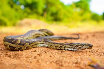 Southern African Python (Python natalensis) on ground