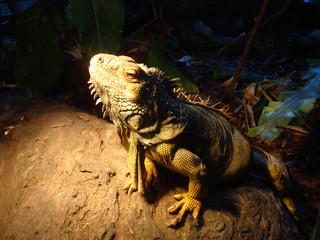 A beautiful Monster Water Dragon of Australia