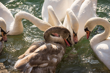 Group of swans eating in the water