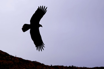 Silhouette of a Wedge-tailed Eagle at dusk, Alice Springs, Northern Territory, Australia