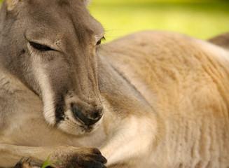 Male Western Grey Kangaroo, Australia