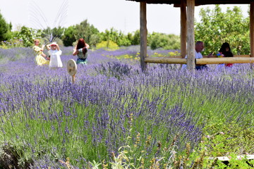 people taking pictures in lavender garden