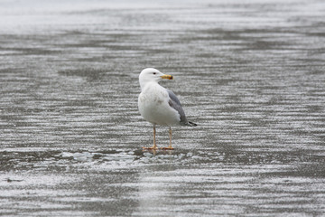 Caspian gull standing alone on thin ice. Bird in wildlife.
