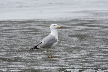 Caspian gull standing alone on thin ice. Bird in wildlife.