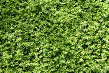 Green fir bush green texture and background