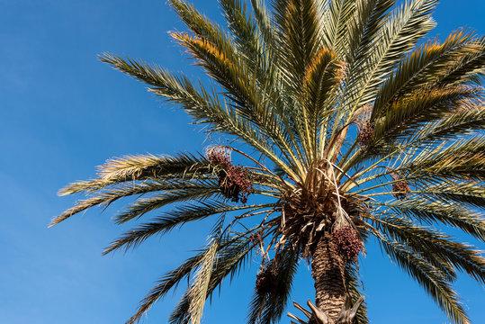 Palm Tree Dades