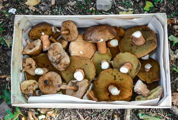 Harvested crop of mushrooms in box