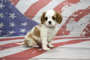 Cavalier King Charles Spaniel on American flag background