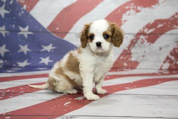 Cavalier King Charles Spaniel on American flag background