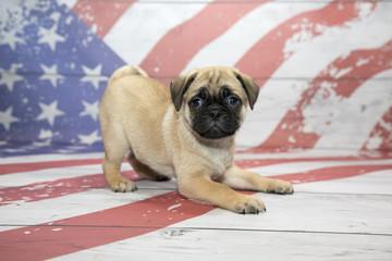 Pug on American flag background