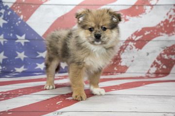 Pomeranian on American flag background