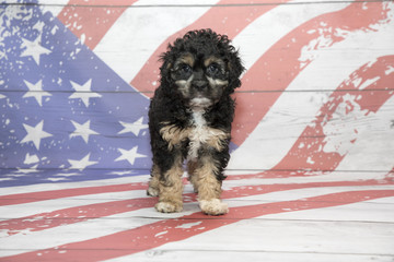 Cavapoo on American flag background