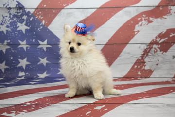 Pomeranian on American flag background