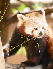 Red Panda Wild Animal Resting Sitting Tree Limb Feeding