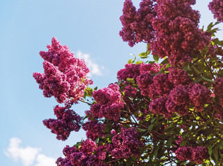 Blooming lilac on a sunny day
