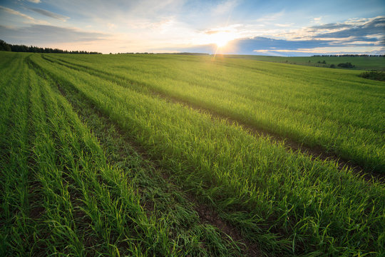 Green beautiful Sown field on sunset