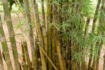 Bambusstrauch