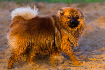 Pomeranian dog for a walk on a summer evening