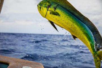 Mahi Mahi hooked on fishing line