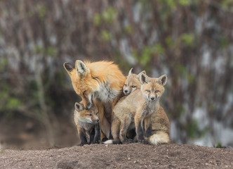 Squeezing In For Attention - A red fox kit squeezes in for some love from Mom.