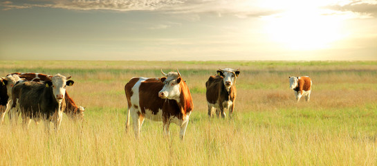 Spoed Foto op Canvas Koe Calves on the field