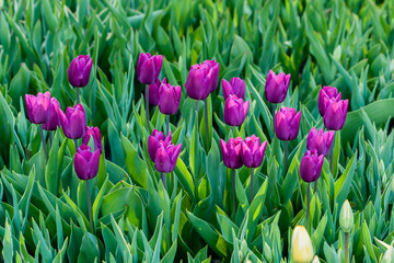 Macro violet tulips on a background of green grass
