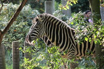 zebra Black and white photograph