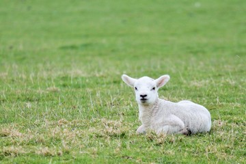 lamb baby sheep in grass field background with copy space