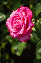 Blossoming rose flower closeup in garden