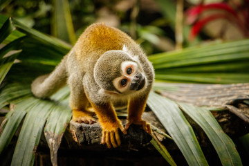 Zelfklevend Fotobehang Aap Funny look of sqirrel monkey in a rainforest, Ecuador