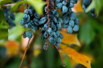 Blue Berries Grapes on a vine in the middle of Summer