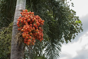 fruit of the betel palm