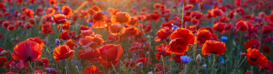 Aluminium Prints Cappuccino Poppy meadow in the light of the setting sun, poppy and cornflower