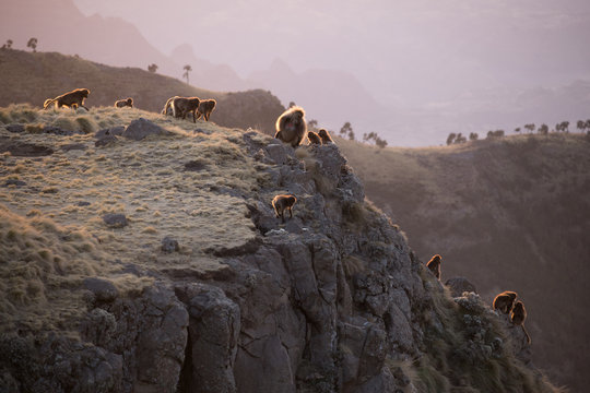 Gelada Baboons on Cliff at Sunset in Simien Mountains