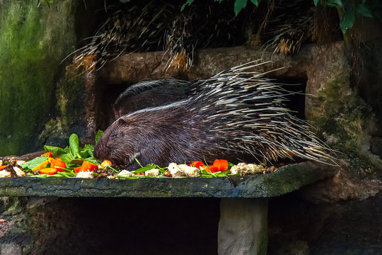 Porcupines are rodent mammals with a coat of sharp spines, or quills. Four of them are in the man-made den at Bangkok Zoo. One is still eating while the others sleep.