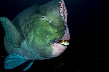 Humphead wrasse fish against black background
