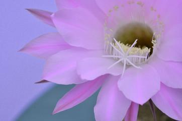 サボテンの美しい花