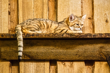 Tabby cat is lying on a shelf