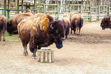 Large bison stands still