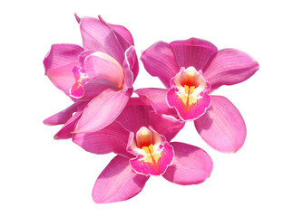 Beautiful  orchid flower isolate on white background