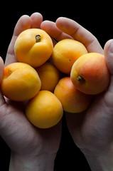 Hands Holding Multiple Apricots over Black Background